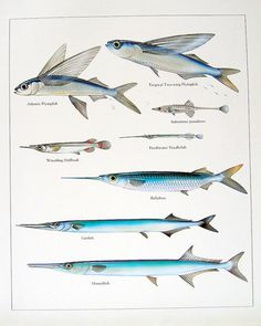 1984 Vintage Fish Print Atlantic Flying Fish Ballyhoo