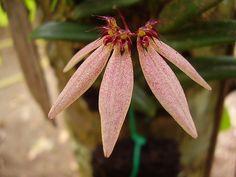Bulbophyllum dolichoblepharon