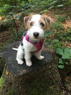 Fox Terriers, Wire Fox Terrier, Terrier Puppies, Jack Russell Puppies, Jack Russell Terrier, Pet Dogs, Dog Cat, Doggies, Baby Animals