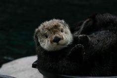 Sea Otter - Monterey Bay Aquarium: Photo