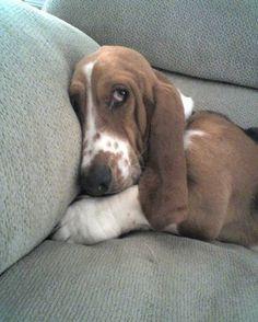 relax basset hound!!