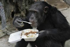 Chimpanzees' Intelligence Hugely Dependent On Genes They Inherit From Parents