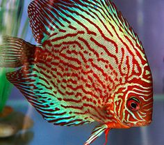 The Most Beautiful Fish In The World