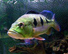 Google Image Result for http://i0.wp.com/www.aquariumdomain.com/images/fish_freshwater/orinocoPeacockBass1.jpg?w=640