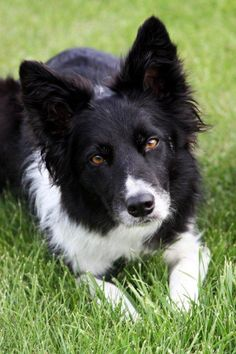 "Border Collie In Remembrance of ""Kippy"" Sensational at moving a flock sheep when asked."