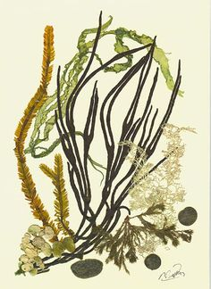 Seaweeds are the most nutritionally dense plants on the planet as they have access to all the nutrients in the ocean. They can contain up to 10 times more calcium than milk and eight times as much as beef.  http://www.foodmatters.tv/Health_Resources/Seaweed_Superfoods