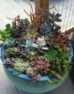 3 of 3 poolside succulents, the largest