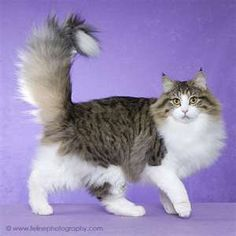 Norwegain Forest Cat