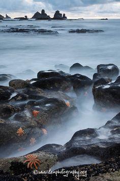 orange seastars, west coast
