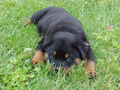colorful pictures of rotties | Rottweiler,Info y Fotos - Taringa!