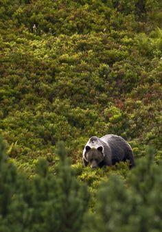 bear in the Tatra mountains