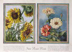1938 State Flower Prints  Kansas Sunflower  by RetroReveries