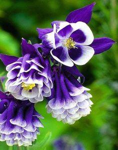 Purple Aquilegia Flowers