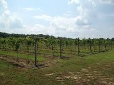 Growing vines in the Cooper fields