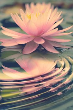"""""""You must be a Lotus, unfolding its petals when the Sun rises in the sky, unaffected by the slush where it is born or even the water which sustains it! Water Garden, Nature Photos, Nature Nature, Mother Nature, Planting Flowers, Flowers Garden, Beautiful Flowers, Plants, Pictures"""
