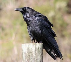 Noisy and full of personality, crows, ravens, and grackles are very noticeable. So just how can you distinguish a raven from a crow from a grackle? Saint Yves, Injured Wildlife, American Crow, Raven Bird, Jackdaw, Crows Ravens, Photoshop, Psychic Mediums, All Birds