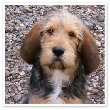 Awwww......Otterhound puppy