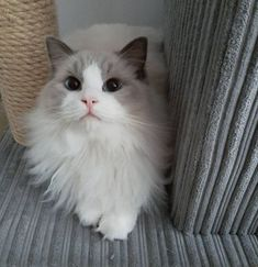 Cute Baby Cats, Cute Cats And Kittens, Kitty Cats, Ragdoll Cats For Sale, Funny Animals, Cute Animals, Gatos Cats, Cat Aesthetic, Labrador Retriever Dog