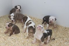 Olde English Bulldogge, Puppies For Sale, Nice, Dogs, Animals, Animales, Animaux, Pet Dogs, Doggies