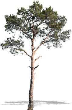 1102_cut-out-medium-pine-tree.jpg (1973×3024)