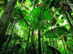 sous bois avec palmiers licuala -  Queensland Australie