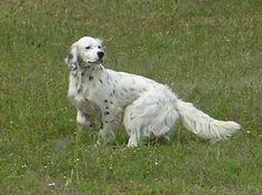 Résultats Google Recherche d'images correspondant à http://www.chiens-de-france.com/photo/eleveurs/55/10888/presentations/a8fc585b-0c5f-b3d4-4dd0-26c0dd7013ec.jpg