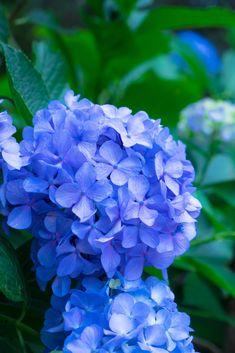 A British garden classic - perfect for a blue wedding flower theme Blue Wedding Flowers, Wedding Bouquets, British Garden, Calming Colors, Some Ideas, Hydrangea, Color Schemes, Bride, Classic