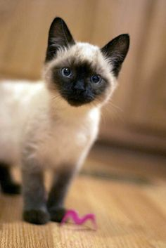 Not necessarily a Siamese kitty fan, but this one is a cutie! I am absolutely in love with our Siamese kitty Rex. Siamese Kittens, Cute Cats And Kittens, Kittens Cutest, I Love Cats, Pretty Cats, Beautiful Cats, Animals Beautiful, Animals And Pets, Baby Animals