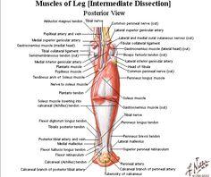 #muscles #leg #tendons #hamstrings #diagram #biology #runner