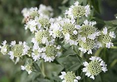 Mountain Mint  does not spread like other mints.  Great pollinator!