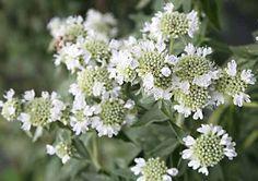 Pycnanthemum pilosum - Google Search