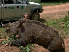 1700 pound wild Texas hog  Do Not run into one of these in the woods without a BIG gun!! #Texas  They are NASTY and dangerous.