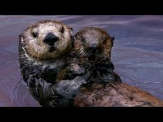 ▶ Why Sea Otters Hold Hands & Wrap Pups in Seaweed | Nature | PBS - YouTube