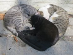 Three cats sleeping in heart configuration - Imgur