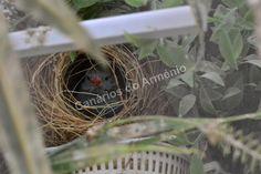 Canários do Arménio: Peito celeste no ninho