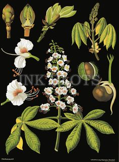 vintage reproduction poster - educational science chart poster - flowering plant botanical chart