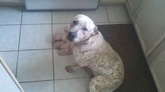 Name:    	Madison  Breed: 	Pit Heeler  Gender:	Female  Born:  	8/2/2010  From:  	Midland, MI (US)  Posted:	6/22/2011  Rating:	10