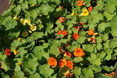 isoköynnöskrassi - Tropaeolum majus Herbs, Plants, Herb, Plant, Planets, Medicinal Plants