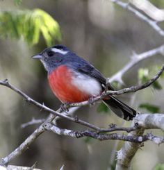 """Grey-Throated Chat - Chats (formerly sometimes known as """"chat-thrushes"""") are a group of small Old World insectivorous birds formerly[when?] classified as members of the thrush family Turdidae, but now[vague] considered Old World flycatchers."""