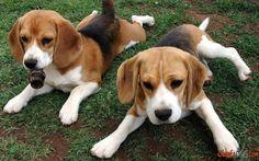 Cão de raça Beagle