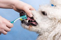 Since doggy dentures aren't a thing, keeping your pup's teeth clean and gums healthy is crucial for their overall health and well-being. Obviously, the best way to get your dog's teeth clean is to have the vet scrape them while …