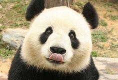 Panda Cute Panda #Panda