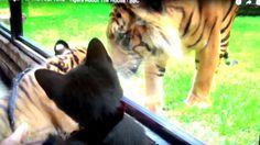 Aonsnot Petesscool - แมวบ้านผมไม่กลัวเสือ 08/03/2560