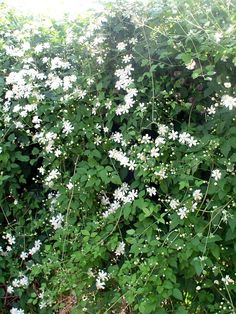 'Paul Farges' is a very vigorous variety of forest climates, also called Summer Snow because Cheap Pergola, Diy Pergola, Pergola Kits, Garden Hedges, Garden Plants, Snow In Summer, Pergola Shade, Pergola Plans, Dream Garden