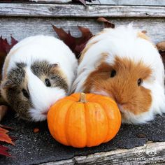 "From @For_the_Love_of_Love: ""My guinea pigs Princess Penelope and Miss Maybelline kissing their first pumpkin!"" #cutepetclub"