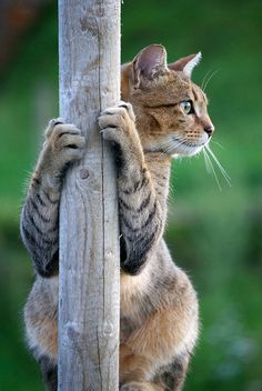 "Cat: ""Pole Dancer!""                                   (Winner of The: 'Best of Cats' Group 2011.)"