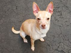 SAFE 5-9-2015 by Amsterdog Animal Rescue --- Manhattan Center BOBBY – A1034854 ***NEW HOPE RESCUE ONLY*** MALE, TAN / WHITE, CHIHUAHUA SH MIX, 7 yrs OWNER SUR – EVALUATE, NO HOLD Reason ALLERGIES Intake condition UNSPECIFIE Intake Date 04/30/2015