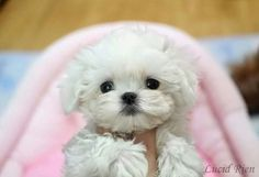 Maltese- just look at this baby! Teacup Puppies, Kittens And Puppies, Cute Puppies, Cute Dogs, Dog Pictures, Animal Pictures, Maltese Dogs, Little Dogs, Cute Baby Animals