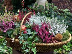 Heide: Pfiffige Deko-Ideen für den Herbst Miniature Forest: The up-and-coming form of the broom heath complements harmoniously with the ground cover (eg moss, ivy) in the wicker basket. Garden Crafts, Garden Projects, Balcony Flowers, Diy Home Decor Projects, Farmhouse Style Decorating, Autumn Garden, Fall Flowers, Diy Flowers, Lawn Care