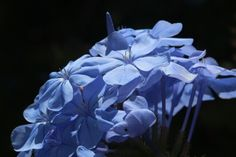 Blue plumbago Blue Plumbago, Cape Town, South Africa, Pictures, Painting, Inspiration, Photos, Biblical Inspiration, Photo Illustration